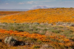 California Poppies in bloom near the Antelope Valley State Poppy Reserve, Lancaster, California